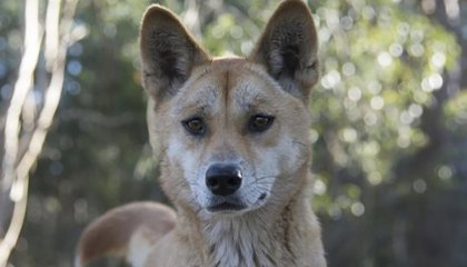 Dingo Wins Competition for World's Most Interesting Genome