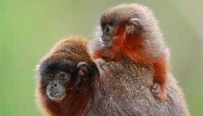 Adorable Monkey New to Science Identified in Threatened Rainforest