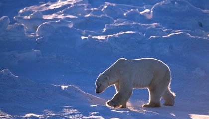 Decades-Old Chemicals May Be Threatening Polar Bear Fertility, As If They Didn't Have Enough to Worry About