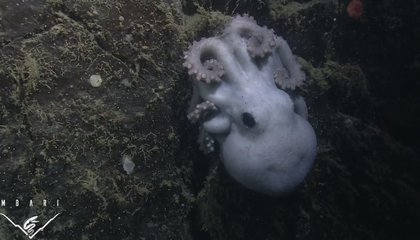 This Deep-Sea Octopus Tended Her Eggs For More Than Four Years