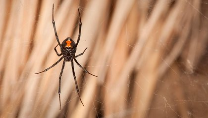 The Deadly Cunning of the Black Widow's Color Scheme