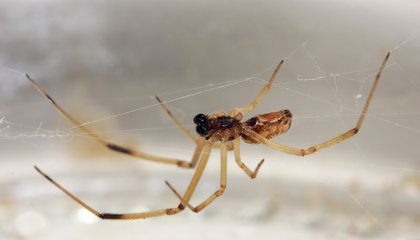 Male Widow Spiders Prefer Younger Ladies—So They Don't Get Eaten