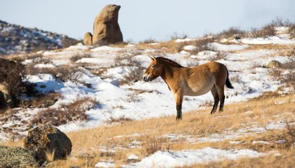 The Remarkable Comeback of Przewalski's Horse