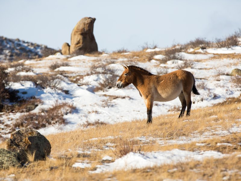 wild mustangs in american culture and nature In wild horses of the west,  featuring stunning color photographs of wild horses,  and politics will appeal to students of the american west,.