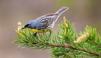 Scientists Track, For the First Time, One of the Rarest Songbirds on Its Yearlong Migration