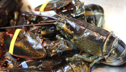 Brawny American Lobsters Are Muscling in on Their European Cousins