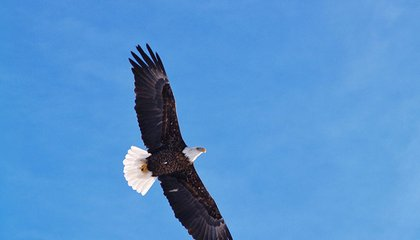 The Oldest Bald Eagle in the U.S. Was Killed by a Car Last Month