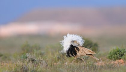 Old Male Bustards Have Less Desirable Sperm