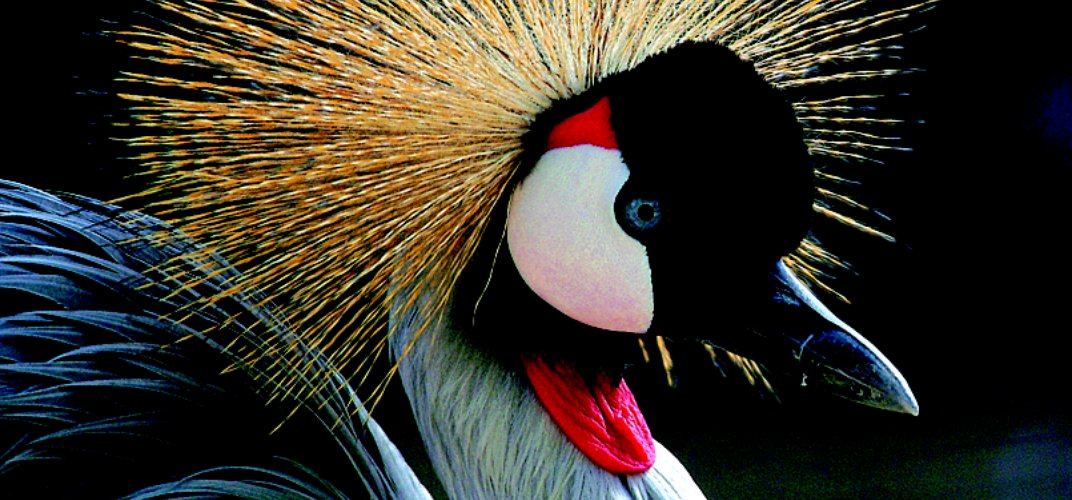 The beauty of an African Crowned Crane