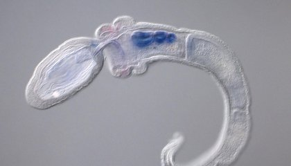This Gross-looking Worm Gives Clues About Humans' Ability to Breathe and Talk
