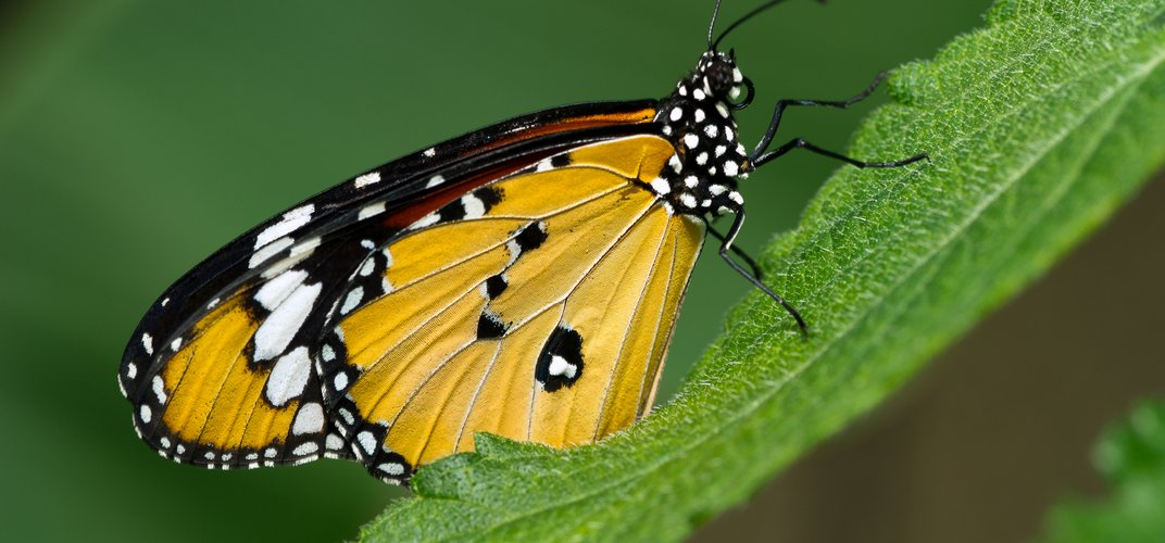 One of many butterfly species of Costa Rica