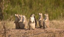 Family of black tailed prairie dogs