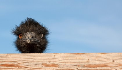 "Describing Someone as ""Birdbrained"" Is Misguided, Unless You're Talking About Emus"