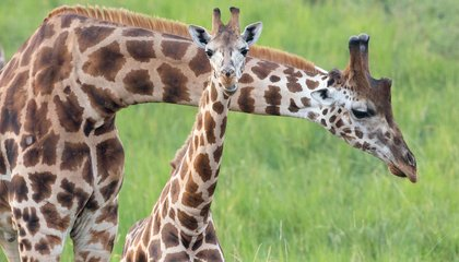 To Save Giraffes, We May Need to Put Our Necks Out