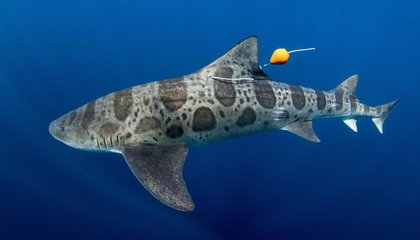 Leopard Sharks Navigate With Their Noses