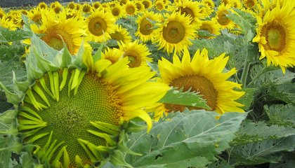 Research Reveals How and Why Sunflowers Turn Their Golden Heads