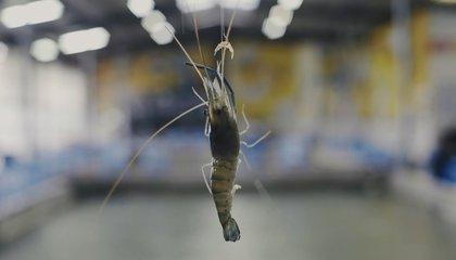 Forget Bowling: Taiwan Has Shrimping Alleys Instead