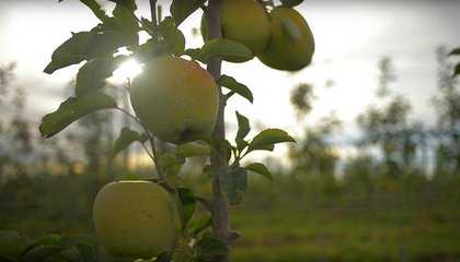 The First Non-Browning GMO Apples Slated to Hit Shelves Next Month