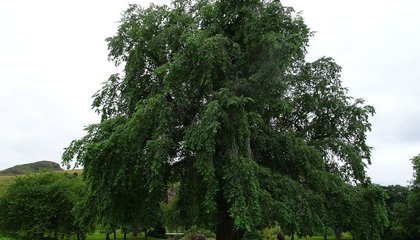 """Extinct"" Variety of Tree Rediscovered at Queen's Palace in Scotland"