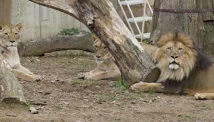 National Zoo's First Baby Lion Cub in 20 Years Born This Morning