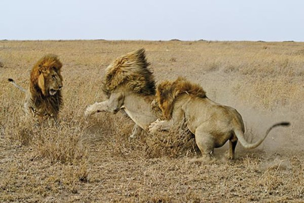Land Rover Buffalo >> The Truth About Lions | Science | Smithsonian