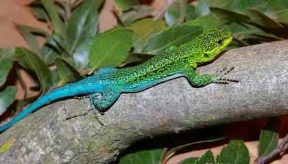 Four Chameleon Forest Dragons Hatch at the National Zoo