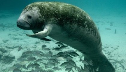 What's Killing Florida's Manatees This Time?