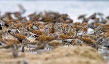 Red knots in Delaware Bay