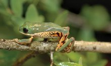 South American monkey frog