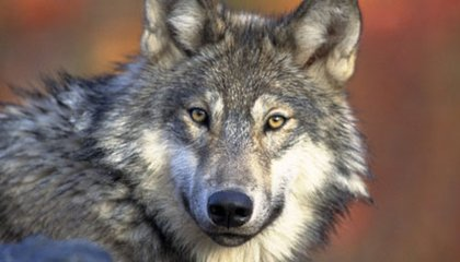 The Gray Wolf: The Great Lakes' Comeback Kid