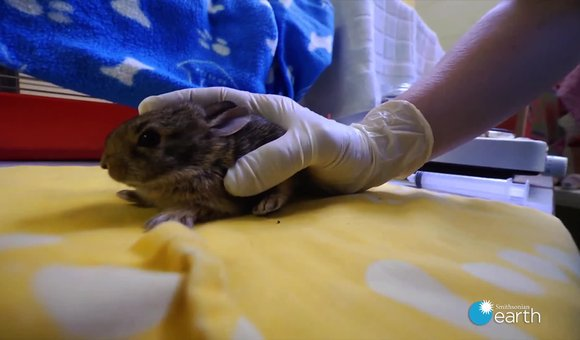 Preview thumbnail for video'Saving a Nest of Baby Rabbits Mauled by a Dog
