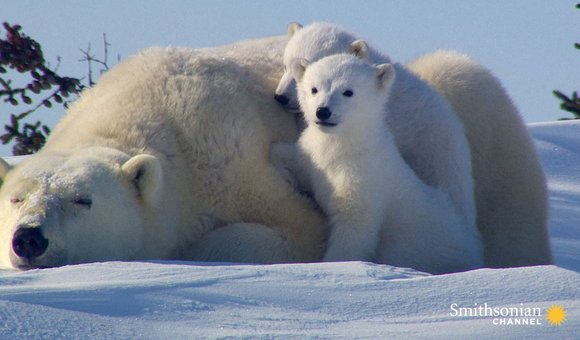 Preview thumbnail for video'Incredibly Cute Polar Bear Cubs See the World for First Time