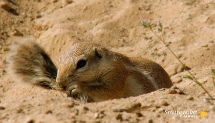 Adorable Ground Squirrels Playing in Sweltering Heat