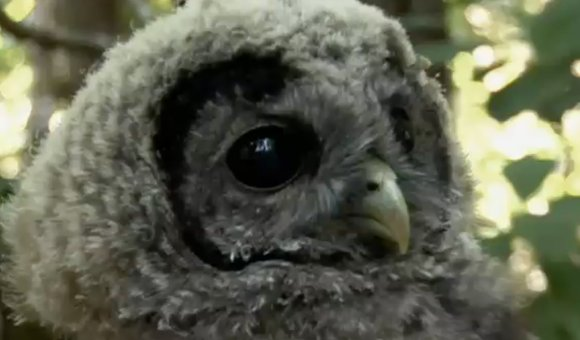Preview thumbnail for video'Spotted Owls Endangered by the Encroaching Barred Owl