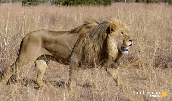 Preview thumbnail for video'How Lions Choose Their Prey