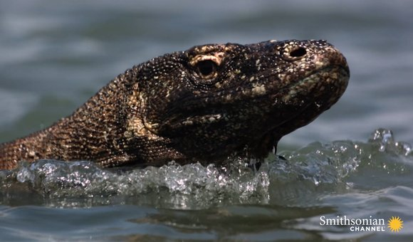 Preview thumbnail for video'Here's What Makes Komodo Dragons So Powerful