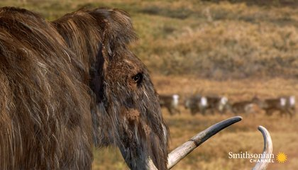 What Really Killed Off the Woolly Mammoth?