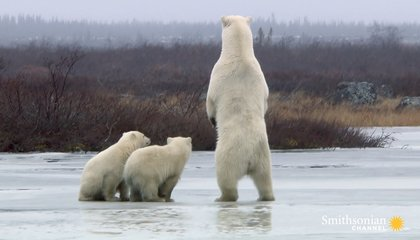 Polar Bear Mom Protects Her Cubs From a Hungry Male