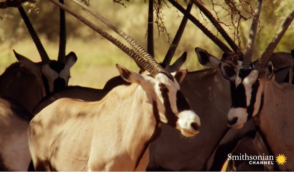 Preview thumbnail for video'How the Desert Oryx Stops Its Brain From Frying