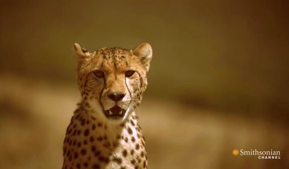 Preview thumbnail for video'How to Outrun a Cheetah