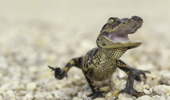Preview thumbnail for video'Ask Smithsonian: Do Animals Laugh?