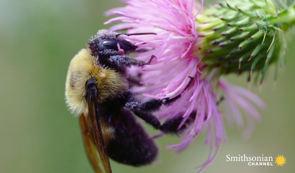 Preview thumbnail for video'Slo-Mo Footage of a Bumble Bee Dislodging Pollen