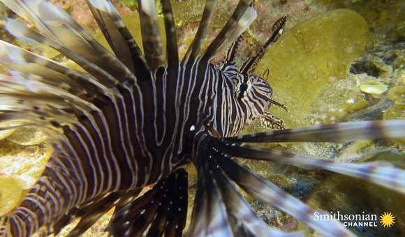 Preview thumbnail for video'Lionfish Are a Plague. Can Training Sharks to Eat Them Work?