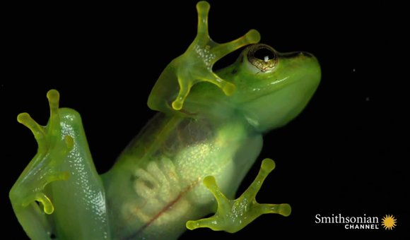 Preview thumbnail for video'A Look Inside This See-Through Frog