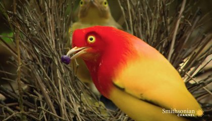 The Sultry Dance of the Bowerbird