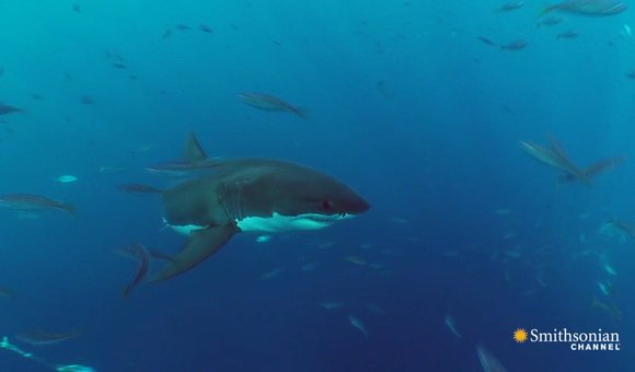 Preview thumbnail for video'Something Ate This Shark... But What?