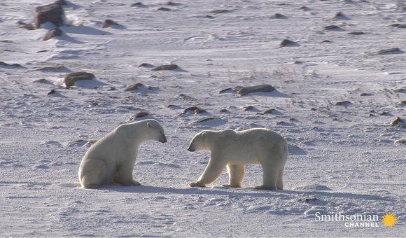 Preview thumbnail for video'A Fertile Polar Bear's Hard Journey From Mating to Motherhood