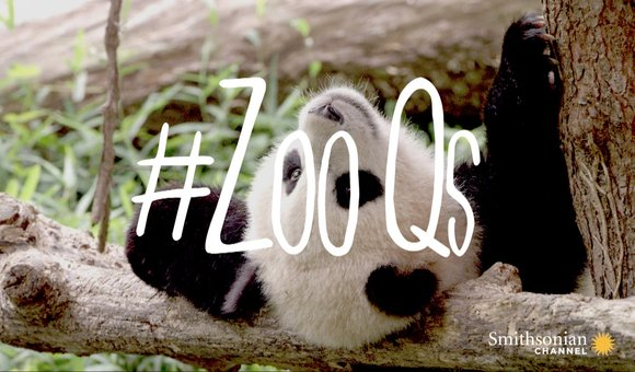 Preview thumbnail for video'When Do Pandas Get Their Eye Patches?